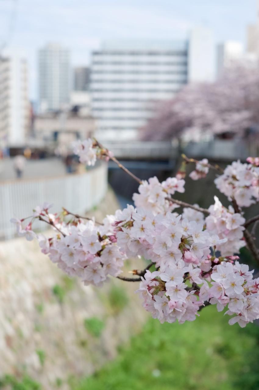 160402_ujigawa-sakura04